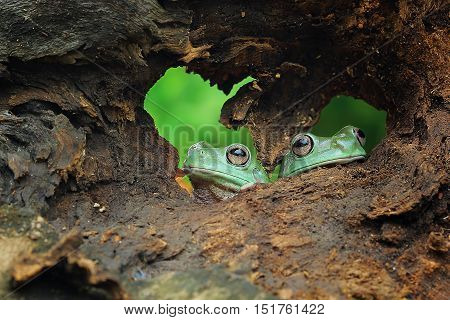 Two dumpy frogs looks like logger heads