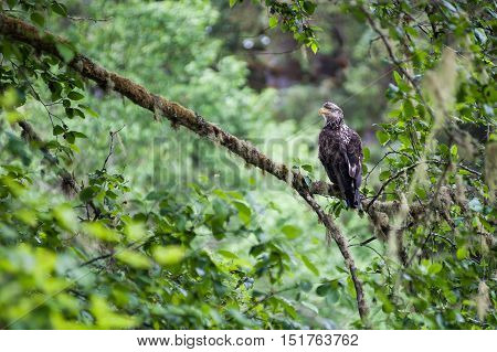 Golden Eagle (Aquila chrysaetos) female sit on a branch waiting for the male in Mora Beach Washington state USA - serial picture 4 of 4