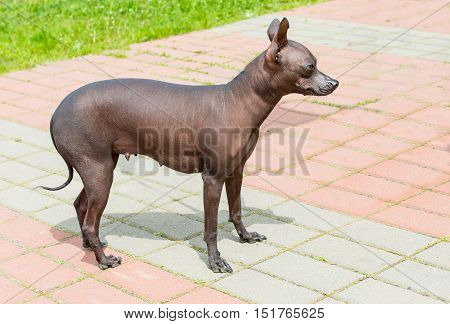 Xoloitzcuintli hairless dog.   The Xoloitzcuintli hairless dog stands in the park.