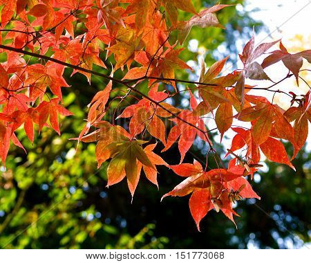 Japanese maple tree leaves and branches  in autumn
