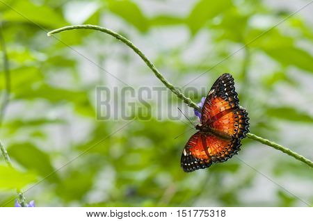 Detail of tropical butterfly (Cethosia hypsea) perching on a stem