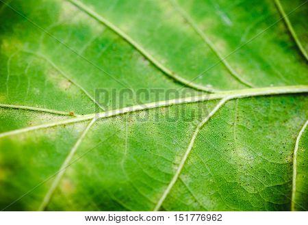 Green leaf of oak texture. Closeup scene.