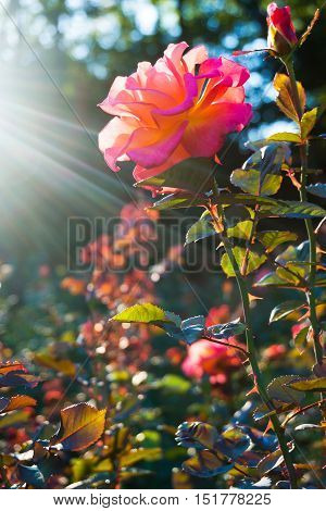 Beautiful rose flower in rays of sunset