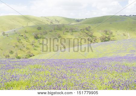 Rolling Hills, Fields Of Salvation Jane, Fleurieu Peninsula, South Australia