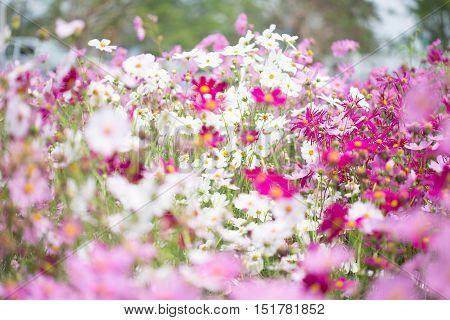 Cosmos flower field. Cosmos flower beautiful backgroud.