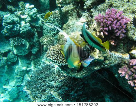 Tropical fish and hard corals in the Red Sea, Egypt. Vacation.