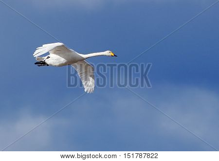 One flying whooper (cyngus cyngus) against blue sky..