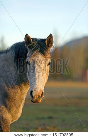 Portrait of thre year old grey dapple Arabian Mare