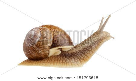 Burgundy snail (Helix pomatiaside) view isolated on white.