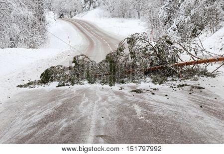 A fallen pine tree blocking the road in a winter scenery.