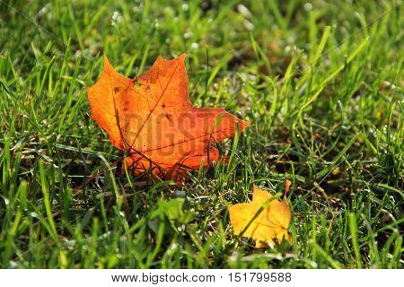 two fallen colorful, maple leaves in the grass enlightened with the sun
