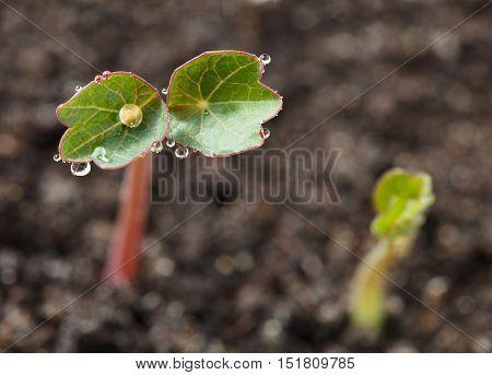 Macro of nasturtium (Tropaeolum majus) seedling with dew drops on leaves