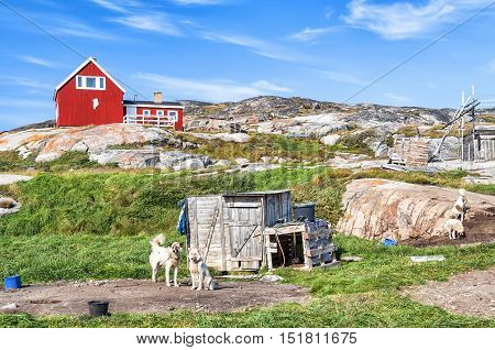 Greenland Dogs resting in Rodebay settlement, Greenland. The Greenland Dog (also known as Greenland Husky) is a large breed of husky-type dog kept as a sled dog and for hunting polar bear and seal.