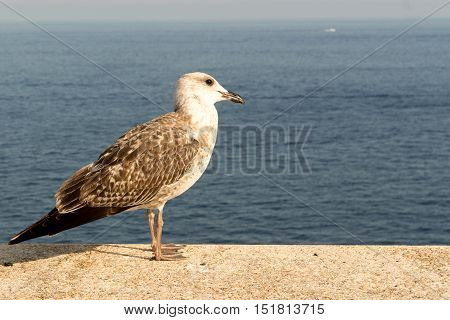 seagull perched on a balcony in the blue sea of Monaco - Montecarlo