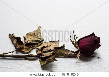 Close up of Roses wilt on white canvas background