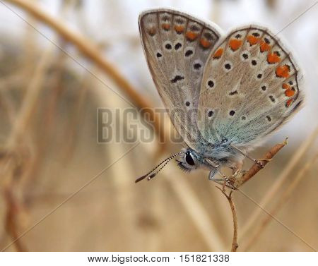 the butterfly on field grass  on field (Polyommatus icarus)