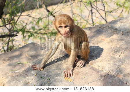 A nosy young monkey on the way to the temple. Jaipuri - the monkey's temple in the Rajastan state - India.