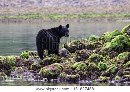 Black bear foraging Tofino British Columbia Canada