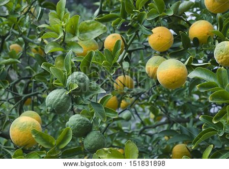 Poncirus Trifoliata. Japanese Bitter Orange. Hardy Orange. Trifoliate Orange. Citrus Tree. Chinese Bitter Orange. Citrus Trifoliata Fruit Tree.