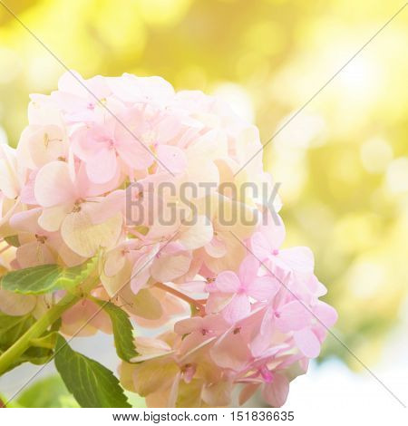 Pink Hydrangea flower soft and blurred background