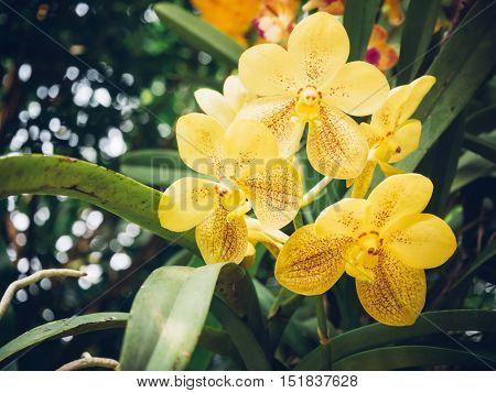 Natural Vintage yellow vanda orchid in garden