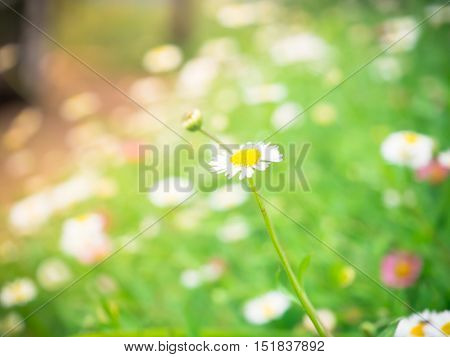 Natural blur and soft Daisy field flower background