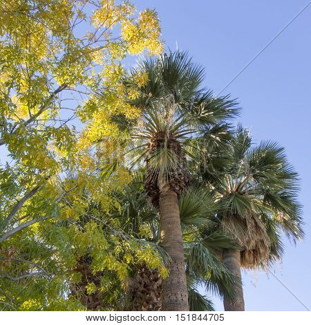 Green palm tree crowns high above in the blue sky