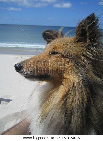 Sheltie Dog on The Beach