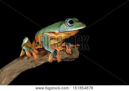Tree frog, Java tree frog word stalking prey