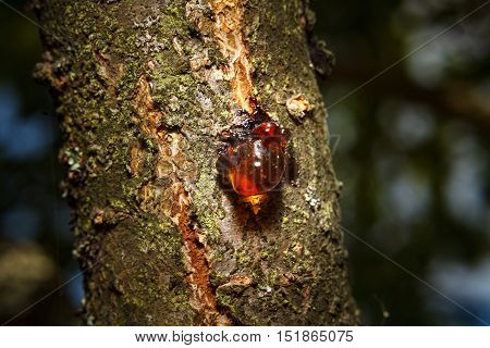Red drop of resin on a tree