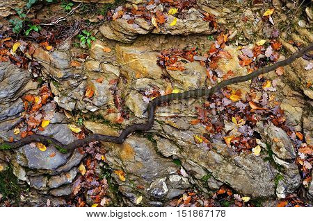big stone with autumn leaves and root in forest