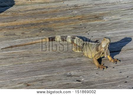 Close up of Green Iguana, Iguana iguana, Also known as American Iguana while basking on a wooden pier in Key West, Florida.