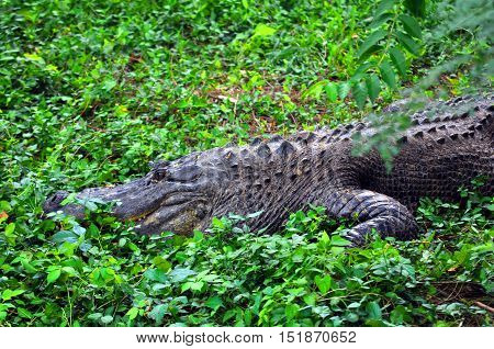 Alligator watches warily and is ready to move if anything comes close. He is hidden in the leaves and ground cover.