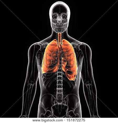 3Dillustration medical illustration of the human lung