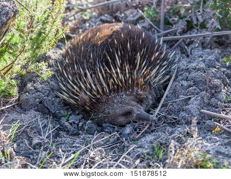 Echidna looking for ants in native Australian settings