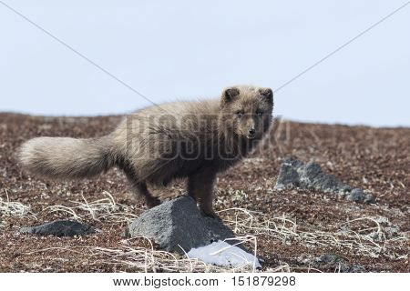 Commanders blue arctic fox that stands on a rock in the autumn tundra