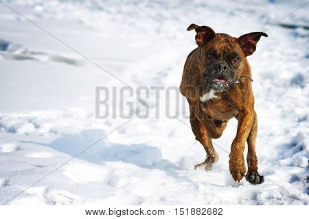 Dog brindle boxer running in the winter in the snow fun games dogs fast running closeup