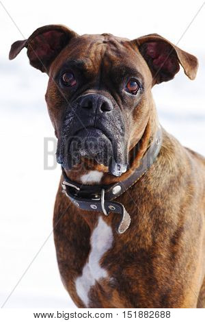 Dog brindle boxer in collar winter white background listening intently in the training closeup portrait