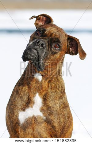 Dog brindle boxer in collar winter white background, listening intently in the training, closeup portrait