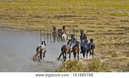 Sand is kicked up by departing herd of dusty wild horses at Onaqui Herd Management Area in Utah. Horizontal photo of classic symbol of America's West.