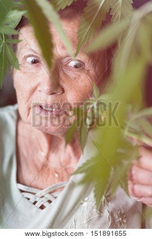 Shocked senior woman looking at Cannabis plant.