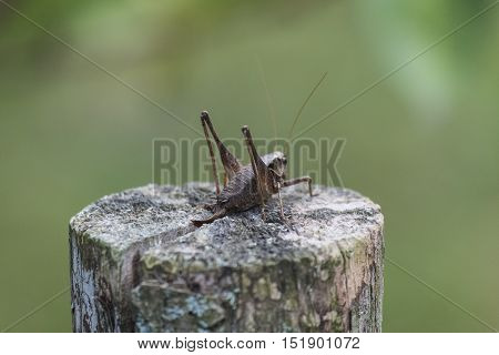 The female green grasshopper autumn on the stump