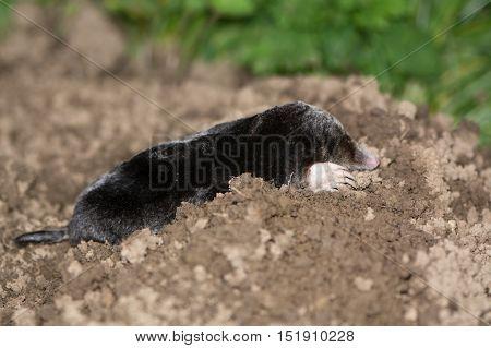 European mole(Talpa europaea) on mole hill. Dead animal on top of mole hill appearing alive showing shovelling hands