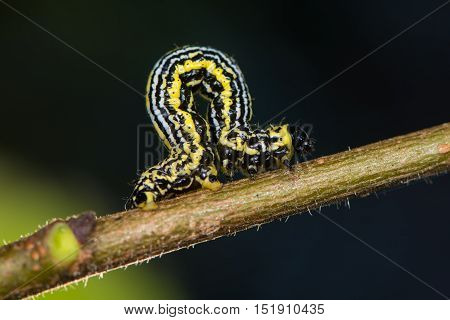 Clouded magpie moth (Abraxas sylvata) caterpillar. Distinctive black yellow and white striped larva in the family Geometridae known as a looper caterpillar on wych elm (Ulmus glabra)
