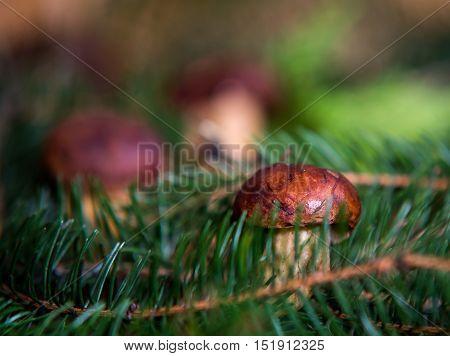 Close Up On Edible Bay Bolete (boletus Badius )