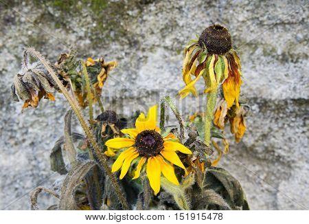 Yellow sunflower on dark background - condolence card
