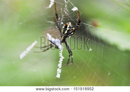 gossamerweb or cobweb and spider in blur background
