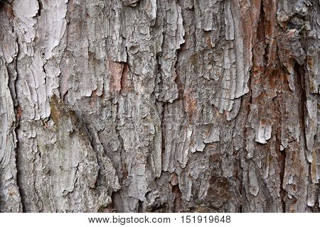 Texture larch tree. Larch bark. Background. Larch.