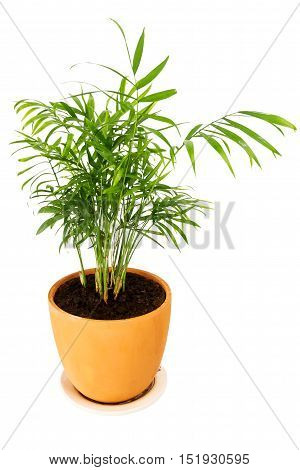 Chrysalidocarpus lutescens palm tree in a pot isolated on white background