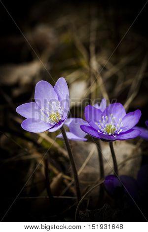 some blue anemones (hepatica nobilis) in full bloom